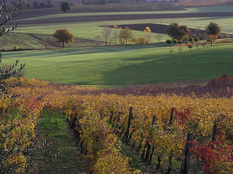 Le colline marchigiane e i filari di viti