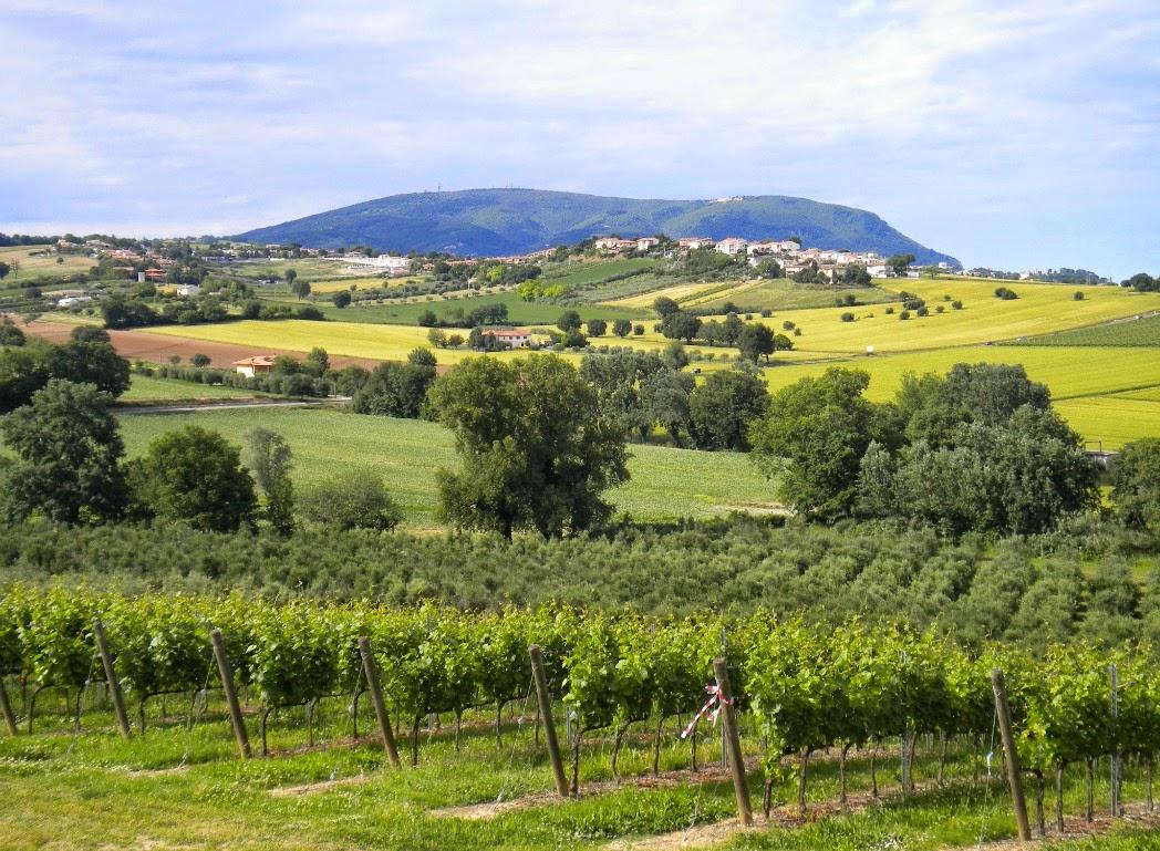 Il filare delle vigne del Verdicchio © Vini di confine