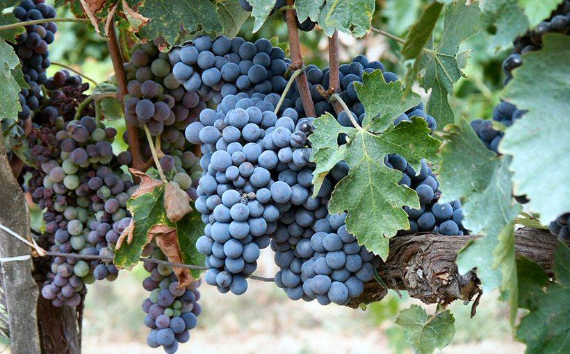 L'uva della Vernaccia di Serrapetrona (MC)