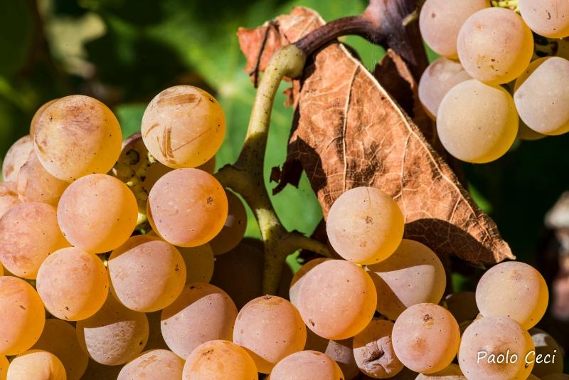 Grappolo di uva Verdicchio