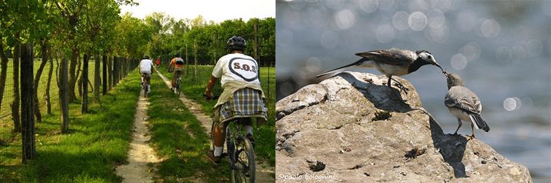 La pista ciclabile che collega Falconara a Chiaravalle e, a destra (Foto @ Paolo Bolognini) due esemplari di Ballerine bianche, sulla sponda del fiume Esino